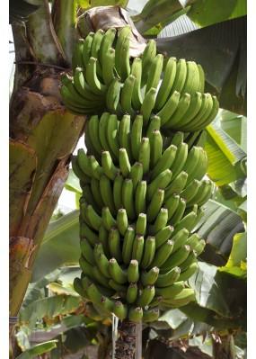 Banane Grande Naine