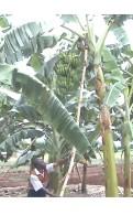 Banane BITA 3