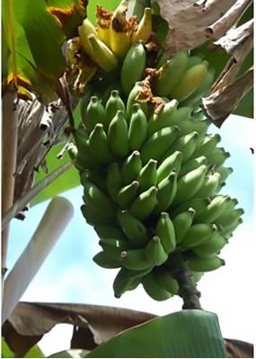 Banane BITA 8